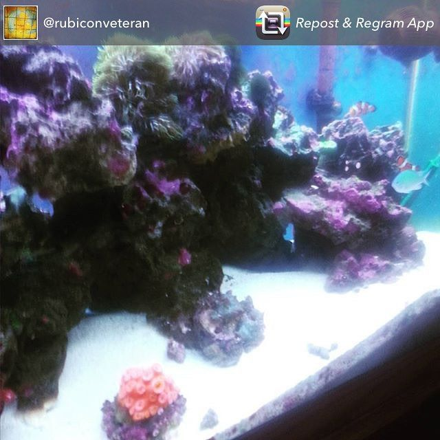 Thank you @rubiconveteran for sharing your 75 gallon #saltwatertank with us! If you want us to feature your tank, tag us in your pictures. #showusyourtanks #swfishgeekgrandrapids