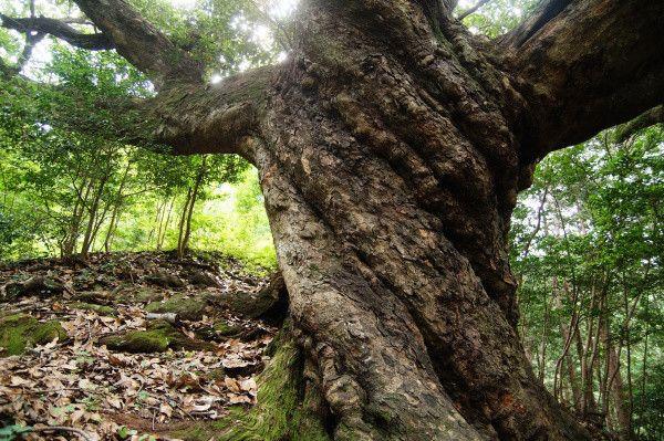 埼玉県・ときがわ町の巨木(姥樫)|旅ノカケラ
