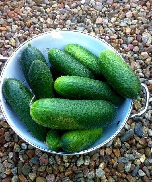 Tänä vuonna puutarhassa kasvaa enemmän avomaankurkkua kuin kesäkurpitsaa, joten sitä on tarvinnut ruveta säilömään. Reseptin kurkkurelis...