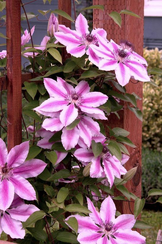 Clematis Kletterpflanze - Tipps zum Pflanzen, Pflegen und Schneiden