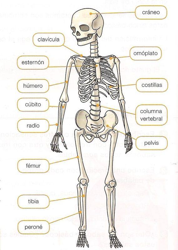 Estudiar la localización y el nombre de estos huesos en el cuerpo humano. Ficha para localizar los huesos.          Ficha para localizar...