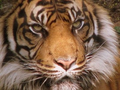 Poaching Threatens Malaysia's Tiger Conservation Goals