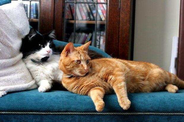 presentar dos gatos