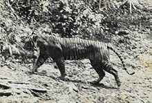 Javan Tiger- Extinct 1970's