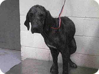 Conroe, TX - Labrador Retriever Mix. Meet FAITH, a dog for adoption. http://www.adoptapet.com/pet/17349782-conroe-texas-labrador-retriever-mix