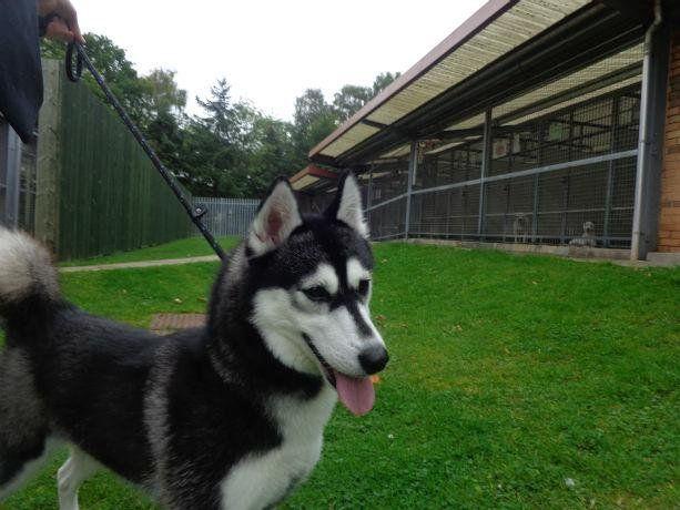 Nikita (Siberian Husky Dog) Rehoming Scottish SPCA