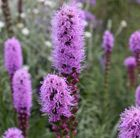 P21 Liatris spicata 'Kobold' gay feather Deciduous perennial to 50 cm Position: full sun Soil: light, moderately-fertile, well-drained soil Rate of growth: average Flowering period: August to September Hardiness: fully hardy Long-lasting spikes of deep magenta flowers appear from August to September above strap-shaped, fresh green leaves.