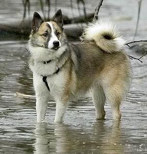 Icelandic sheepdog one of the 2 new contenders...yeah Viking dogs