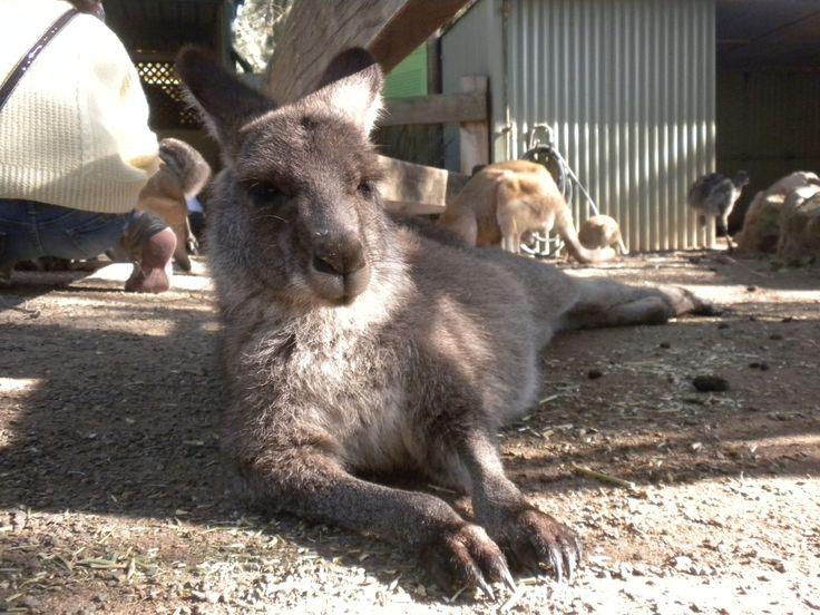 #Kangaroo #Australia