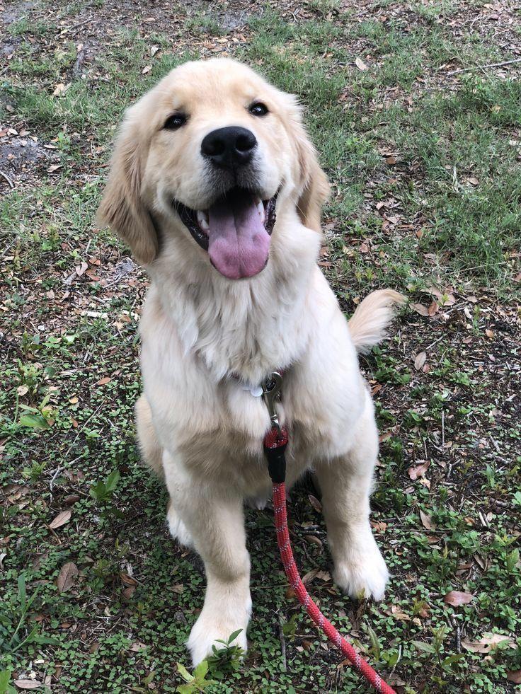 Golden Retriever Puppy Wheres Bash Goldenretrieverpuppies Goldenretrievers In 2020 Golden Retriever Puppies Retriever