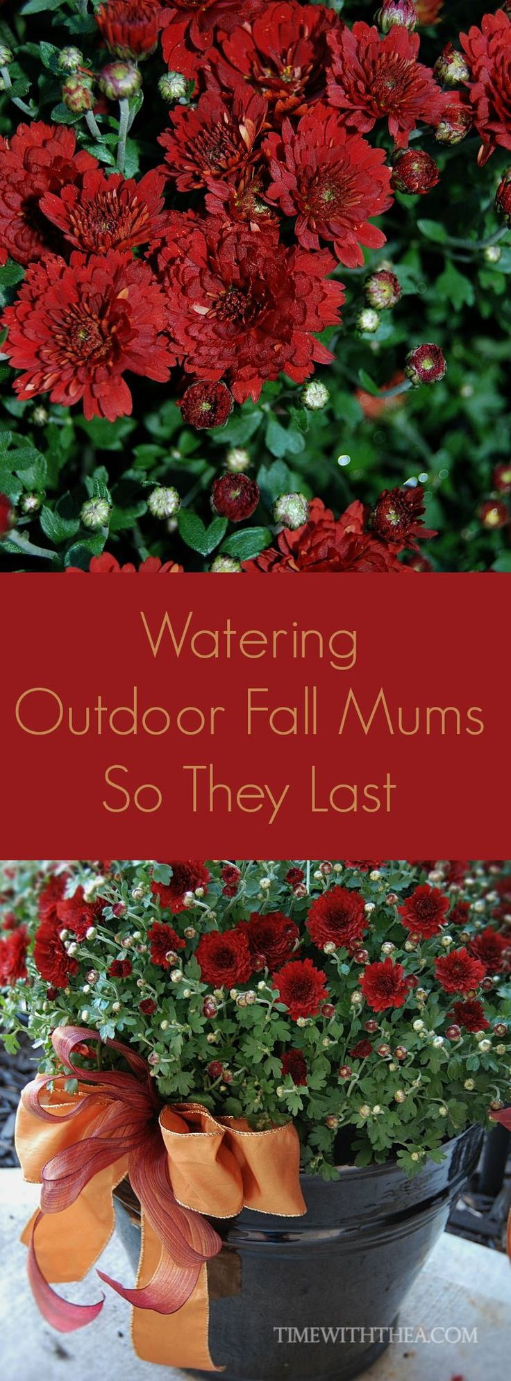 Watering Outdoor Fall Mums So They Last ~ It is easy keep your outdoor Fall Mums healthy and extend their blooming time with this clever watering tip!