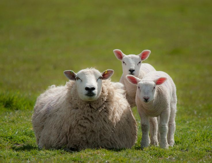 Monday Random Sheep Fact! Did you know that sheep were domesticated over 10,000 years ago and man learned to spin wool as far back as 3,500 BC!? #sheep #facts