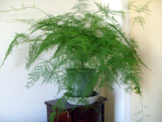 Asparagus Fern (Asparagus Setaceus 'Nanus')