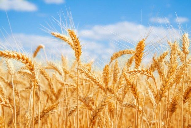 PM markets: heavy supplies send wheat futures lower