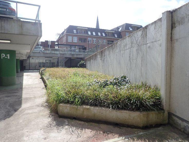 Carex morrowii is in #Zevenaar aangeplant bij het Masiusplein in de parkeergarage. Zondag 24 april 2016. Via twitter @Zevenaar_flora