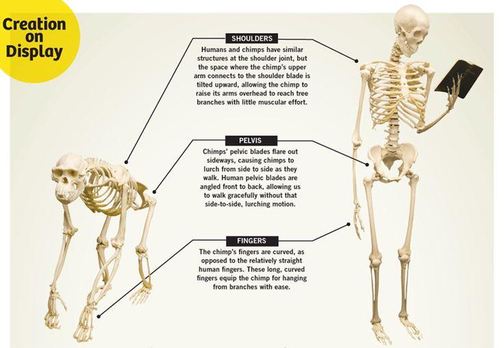 ape-vs-man-large.gif (900×622) | primates | pinterest, Skeleton
