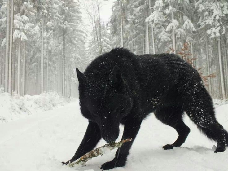 Black Wolf So Mystical Strong And Independent A Pure WONDER Of The Wilderness