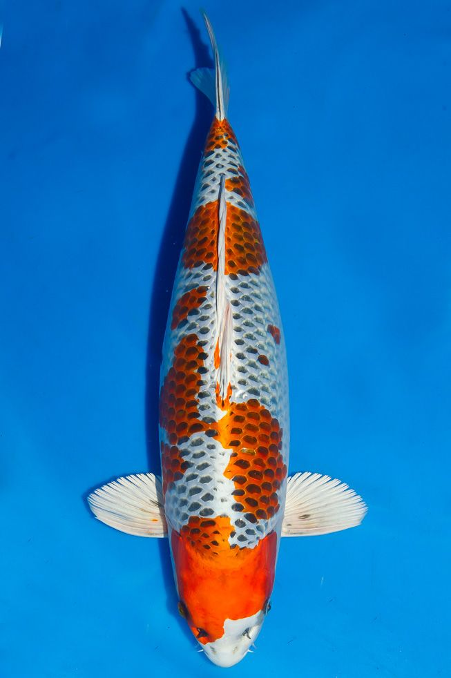 776 best japanese koi images on pinterest japanese koi for Japanese koi fish wholesale
