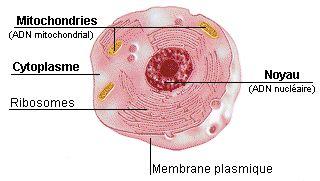 La mitochondrie fabrique une molécule énergétique appelé ATP (Adésine Triphosphate), indispensable aux réactions chimiques qui permettent la production de matières organiques. Par ailleurs elle renferme son propre ADN, l'ADN mitochondrial ou ADNmt, qui n'est pas pareil que l'ADN du noyau. Cet ADN contient des gènes essentiels à la vie cellulaire. Lorsque les gènes mitochondriaux sont abimés, ils sont responsables de certaines maladies génétiques comme l'atrophie optique.