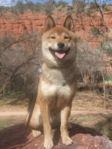 Obesity In Dogs: The Beatles, Shiba Inu, Desert, Dogs, Pet, Baby, Beautiful Shiba, Hiking, Sedona Az