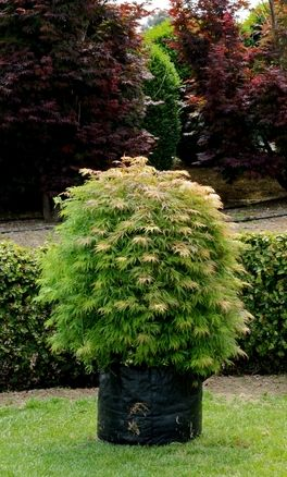 Acer palmatum Moss Gold - An attractive variety whose foliage develops splashes of gold during summer