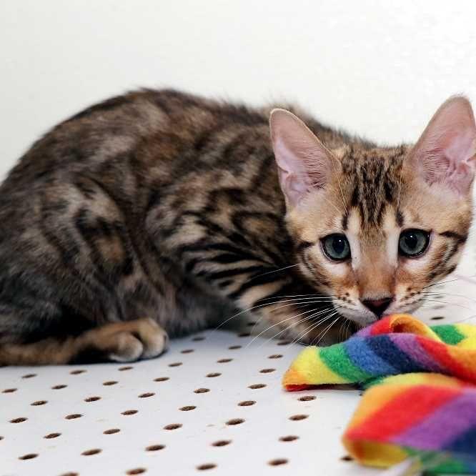 Bengal Cats For Sale Near Me Risingsunfarm In 2020 Bengal Cat Kitten Bengal Cat Bengal Cat For Sale