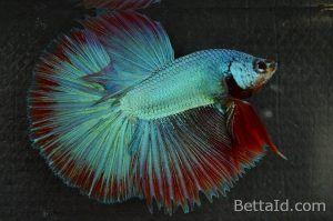 Ikan Cupang Halfmoon Maskot Dragon HM58. Mempunyai kedokan sehat, dasi lurus, mental berani, tubuh proporsional, dan sisik mengkilap. Memiliki warna dominan hijau. #ikan #cupang #ikancupang #halfmoon #bettafish