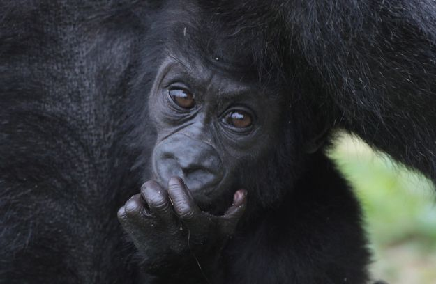This gorilla baby has the most soulful eyes. | This Year's 45 Most Lovable Baby Animal Pictures