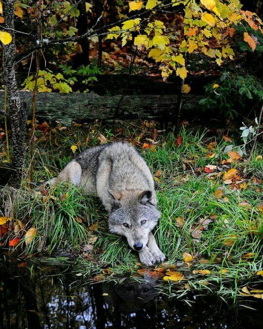 Lobo gris reposando cerca de un arroyo.