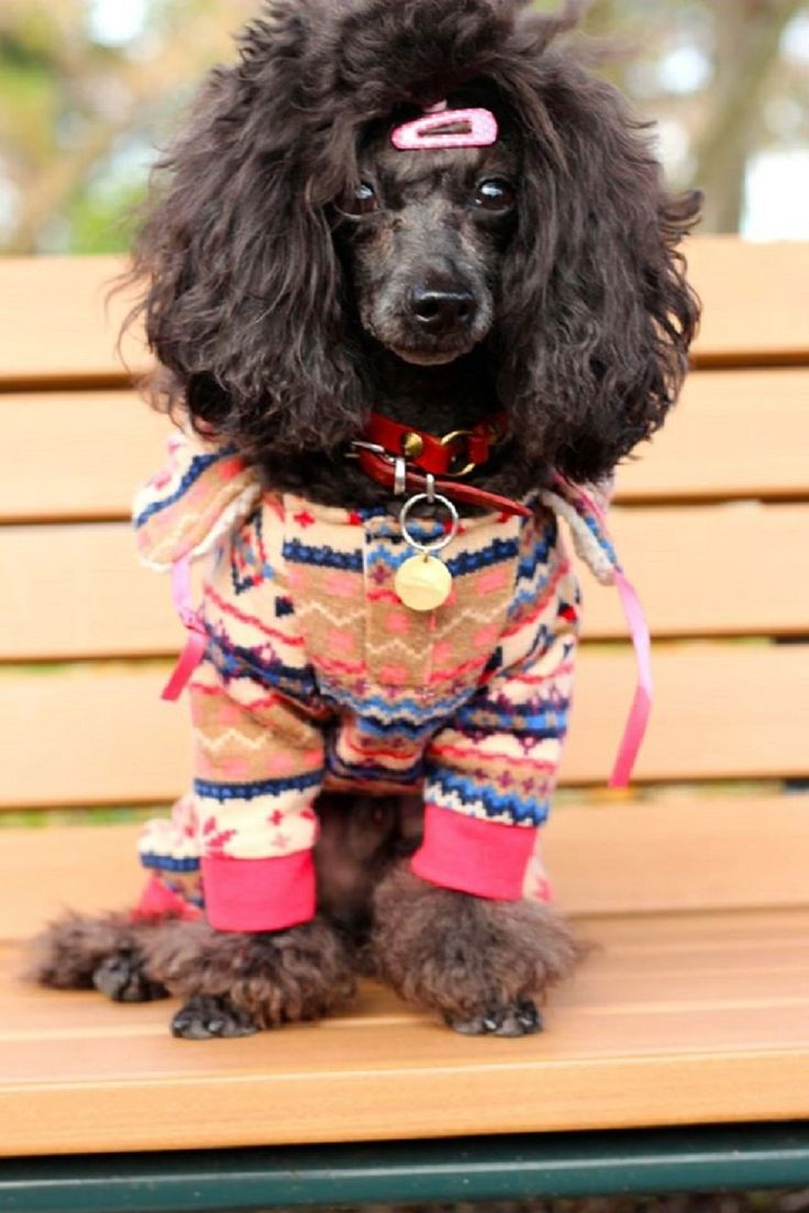 Standard poodle haircuts or of unless soft haircuts standard poodle - Omg Poodle Cutsstandard Poodlescool Babycat Groomingfur