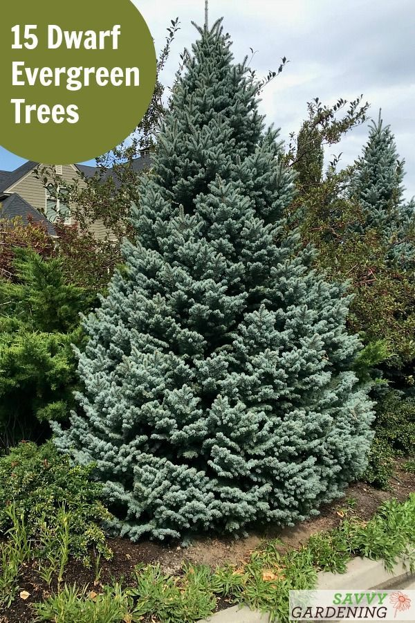 Dwarf Evergreen Trees 15 Exceptional Choices For The Yard And Garden In 2020 Dwarf Evergreen Trees Shade Loving Perennials Vegetable Garden Design