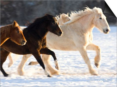Draft Horse Running With Quarter Horses in Snow Prints by Darrell Gulin at…