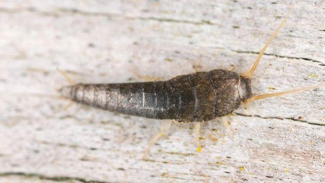 Welche Insekten Im Haushalt Nutzlich Sind In 2020 Silberfische Hausmittel Silberfische Bekampfen