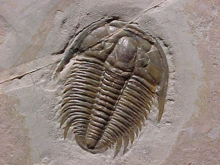 Calymene celebra //Wisconsin designated the trilobite (Calymene celebra) as official state fossil in 1985. Related to modern day crabs, lobsters, shrimp, spiders, and insects, this extinct marine arthropod flourished in shallow prehistoric salt waters during the early to middle Paleozoic age.