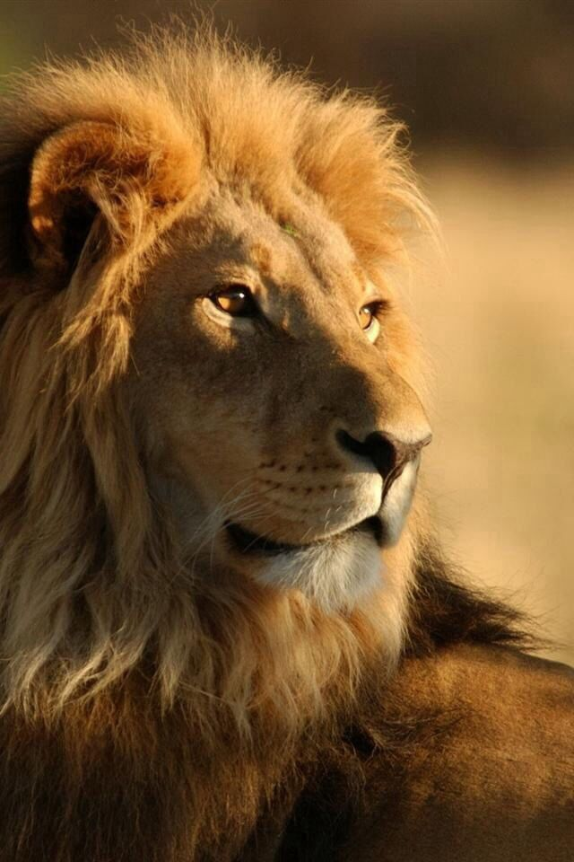 "[You have got to be the most stunning creature ever. Truly.] * * LION: "" Tellz me somethin' me don'ts know."""