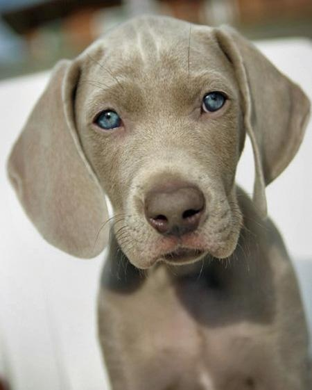 Puppy Pointer.