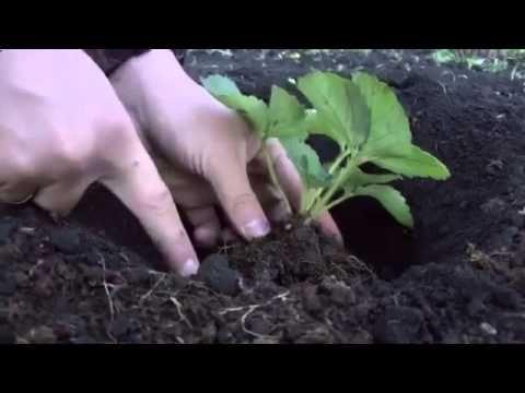 Как правильно посадить клубнику  Садим клубнику на своем участке