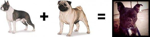 boston terrier pug mix brindle - Google Search