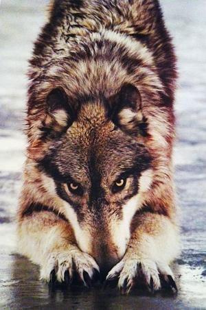 Wolf by sylvia alvarez