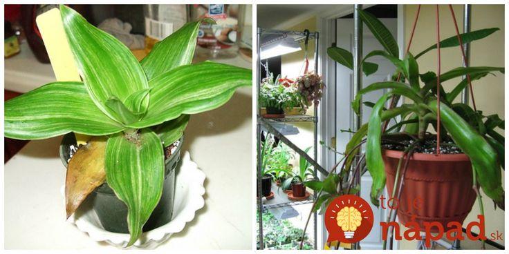 Keď sa pozriete okolo seba, určite vám pohľad padne na nejaké izbové rastliny. Pozrite sa však lepšie, či medzi nimi náhodou nenájdete aj nenápadný zázrak z prírody, rastlinu známu ako kalísia voňavá. Hoci ju väčšina