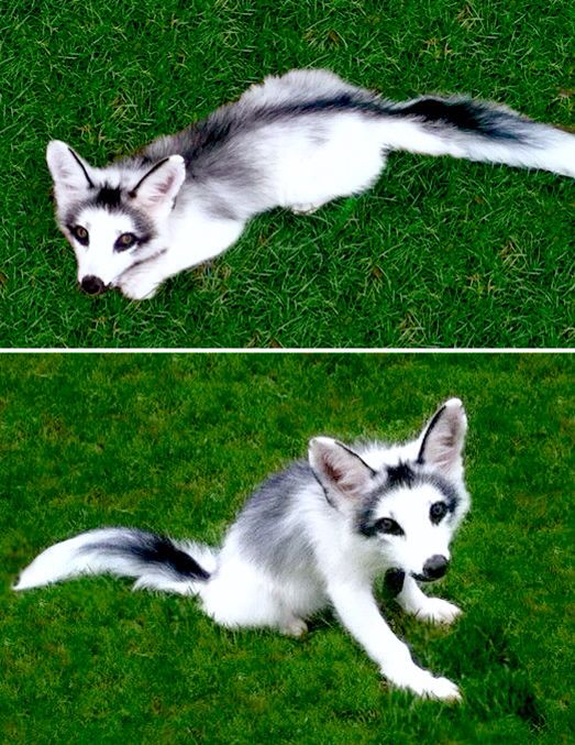 Marble Fox - Beautiful!