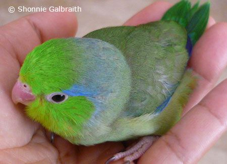 Pacific Parrotlet | General Information about Pet Parrotlets