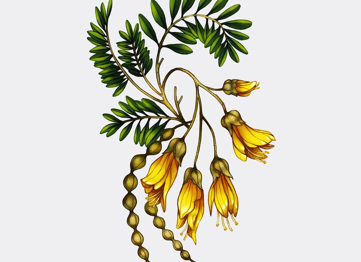 Image result for kowhai