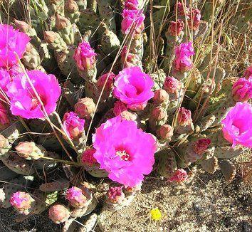 Opuntia basilaris var. brachyclada [San Bernardino County] 1 flower