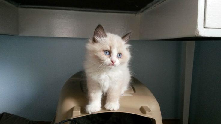 Siberian kitten (Perovskia Siberians)
