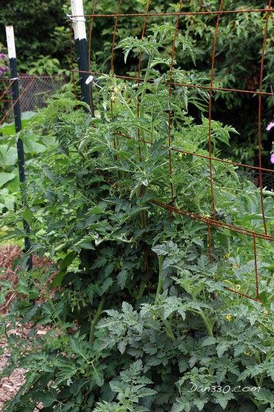 how to grow a tomato plant on a balcony trellis