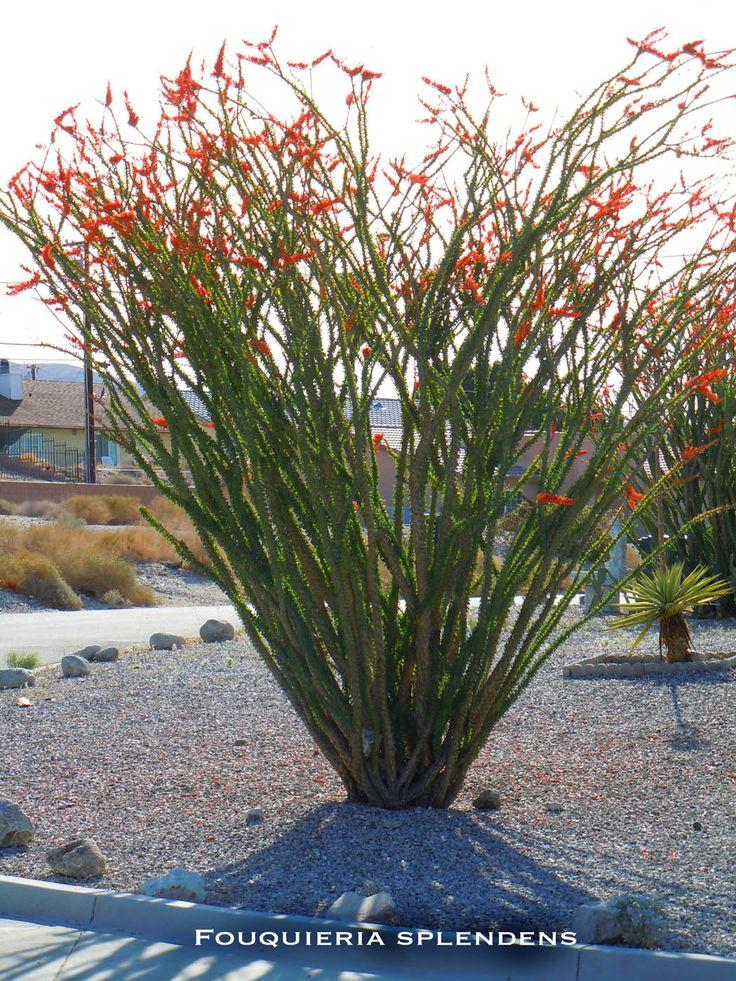 fouquieria splendens; native