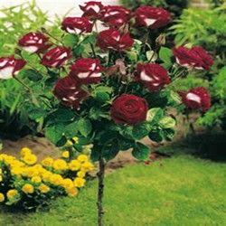 25 Trending Standard Roses Ideas On Pinterest Lavender