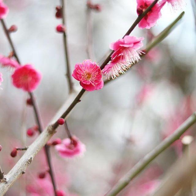 【liro_r】さんのInstagramをピンしています。 《. 赤いほうが梅の花! って印象があります(´▽`*) いい香りでいっぱい♪ . #canon #eoskissx8i #Japan #osaka #日本 #大阪城公園 #梅 #ザ花部 #桜 #はなまっぷ #花フレンド #一眼レフ #カメラ女子 #写真好きな人と繋がりたい #写真撮ってる人と繋がりたい #花好きな人と繋がりたい #ファインダー越しの私の世界 #お写んぽ #玉ボケ #japan_night_view #instadaily #instagood #instalike #instamood #team_jp_ #ig_japan #lovers_nippon #tv_flowers #wp_flower #japan_of_insta》