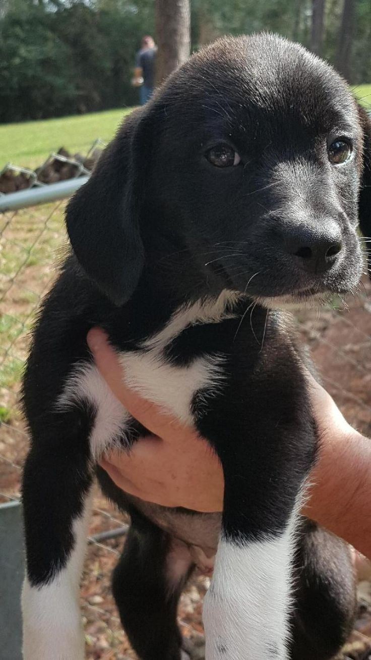 Adopt socks mixed breed puppy on lab mix puppies